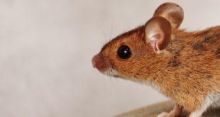 tikus, kuliner ekstrim di dunia
